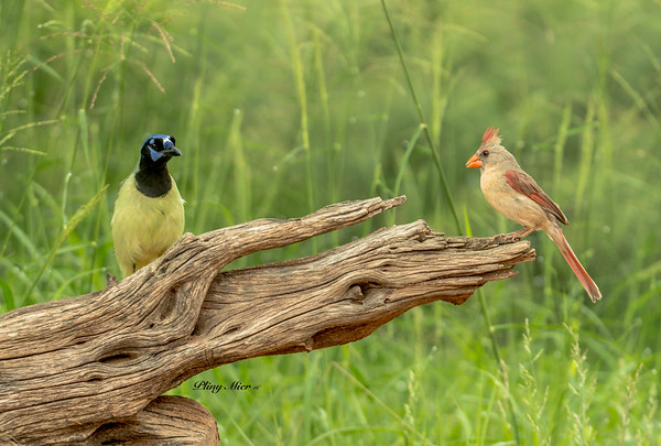 Green Jay & female Northern Cardinal
