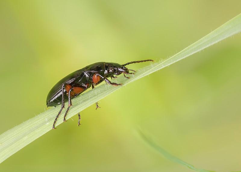 Black clock Beetle