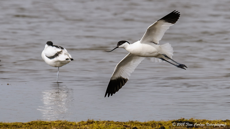 Klyde (Recurvirostra avosetta - Pied Avocet)