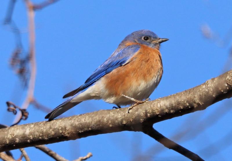 Bluebird 11
