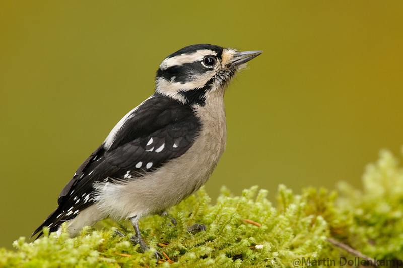 Downy Woodpecker, all year resident, they bring the fledglings around in the spring.