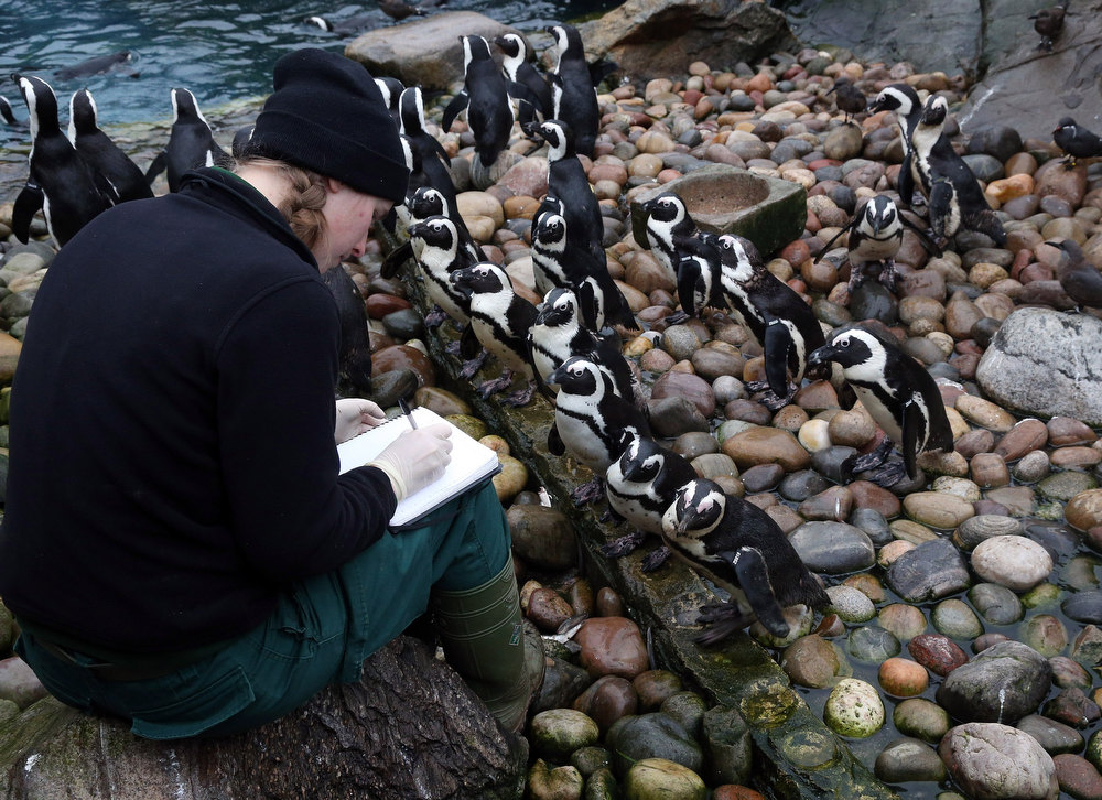 Description of . Keeper Pippa Green helps count some of the penguins as part of the annual stock take at Bristol Zoo on January 2, 2013 in Bristol, England. The annual animal 'census' is carried out at the start of each year and includes stocktaking more than 400 species; from tiny insects, fish and birds, to seals, gorillas and monkeys.  (Photo by Matt Cardy/Getty Images)