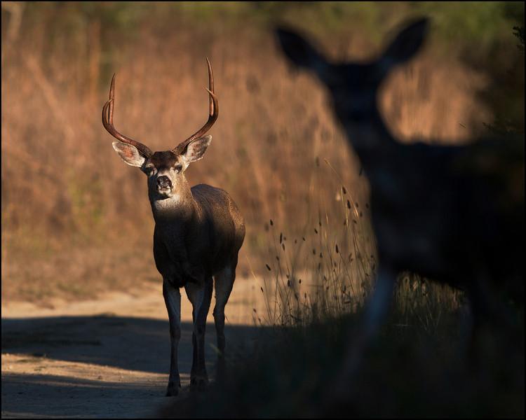 Black-tailed deer mating season, after sunrise October