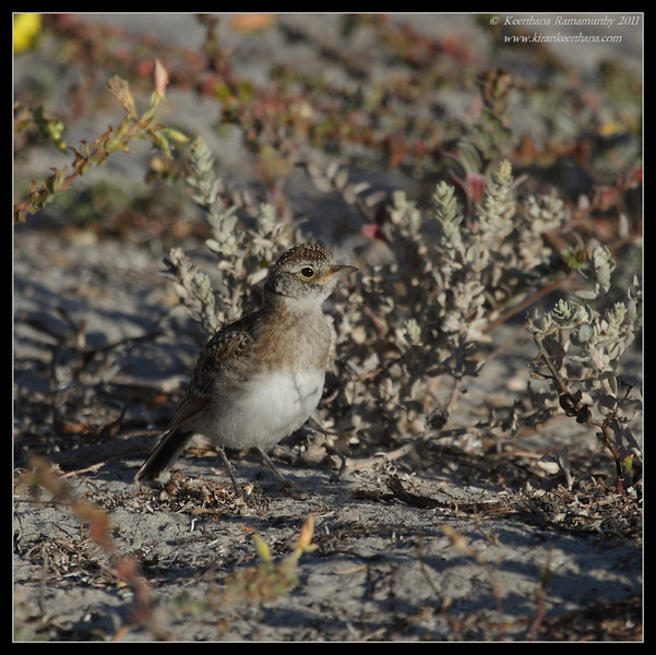 Juvenile Horned Lark, Robb Field, San Diego River, San Diego County, California, July 2011