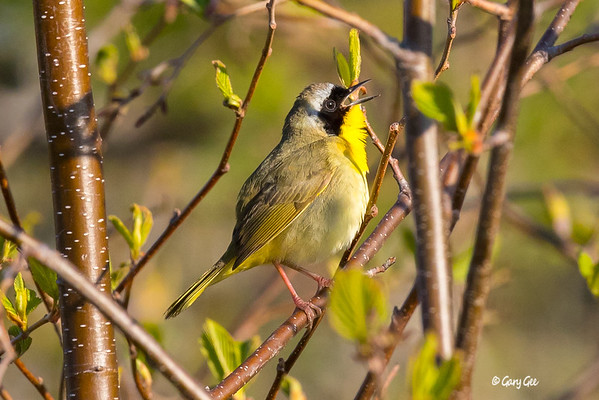 Common Yellow-throats