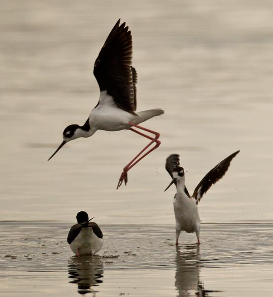 Black-necked Stilt  San Elijo Lagoon 2013 03 27 (1 of 2).CR2