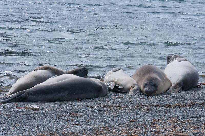 Seals in Grytviken, South Georgia Island