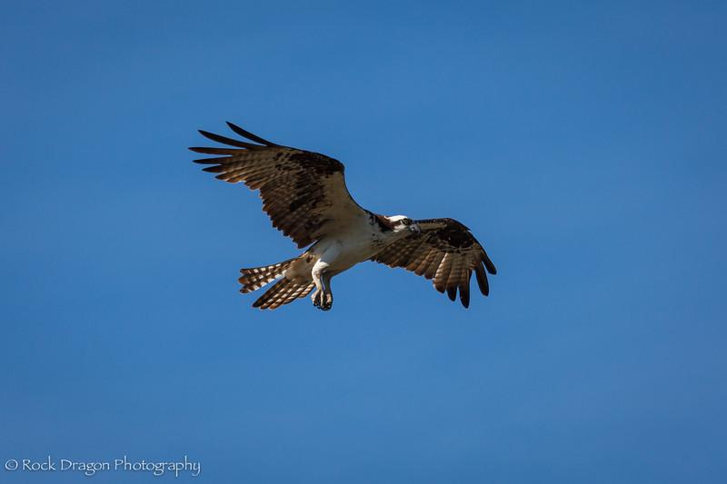 An osprey in Fishcreek provincial park, Calgary Alberta.