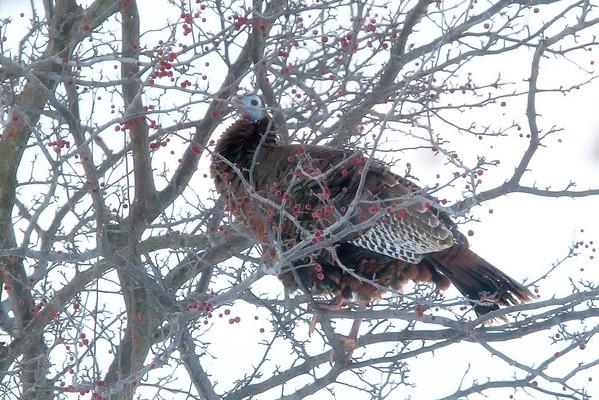 2016-01-23 Backyard Squirrel & Turkey