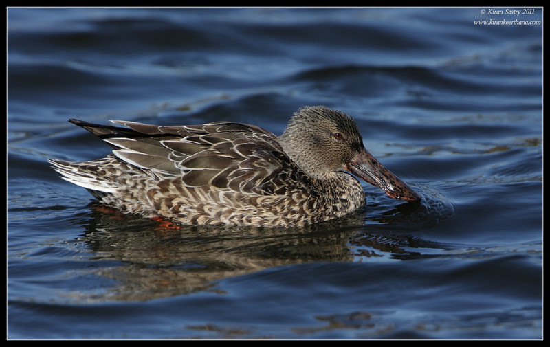 Northern Shoveler duck, Santee Lakes, San Diego County, California, December 2011