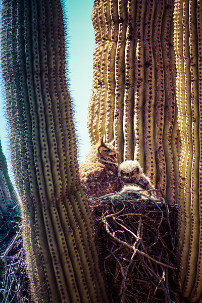 Great Horned Owl and Baby in Cactus