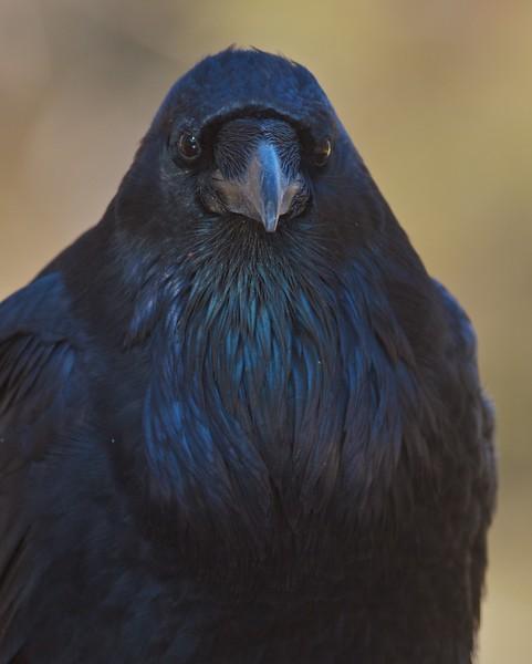Common Raven portrait Yellowstone N.P. WY IMG_0068987.jpg