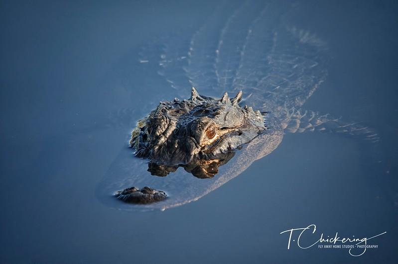 Alligator Three-1505697136589.jpg