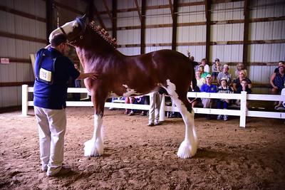 Clydesdale Stallion 2-3
