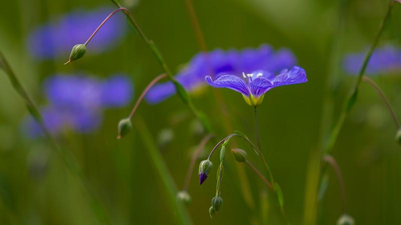 IMG_0746 blue flower.jpg