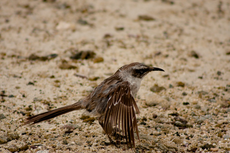 Flapping Sparrow : Journey into Genovesa Island in the Galapagos Archipelago