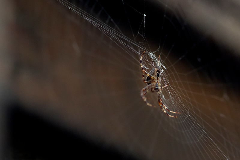 Orb Spider bottom of web.jpg