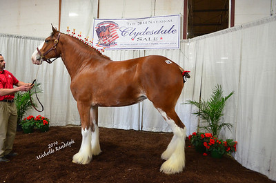 2014 National Clydesdale Sale