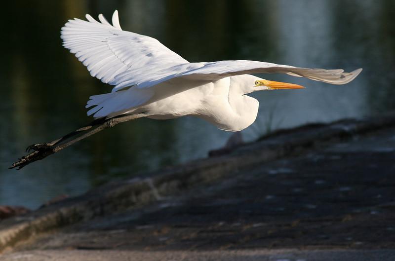 Great Egret - P.V. Mexico