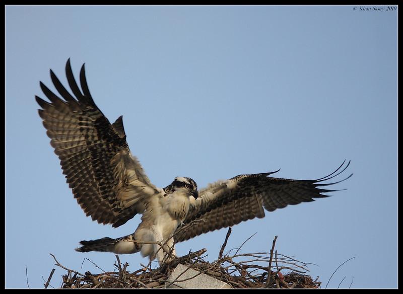 Osprey, Robb Field, San Diego River, San Diego County, California, May 2010