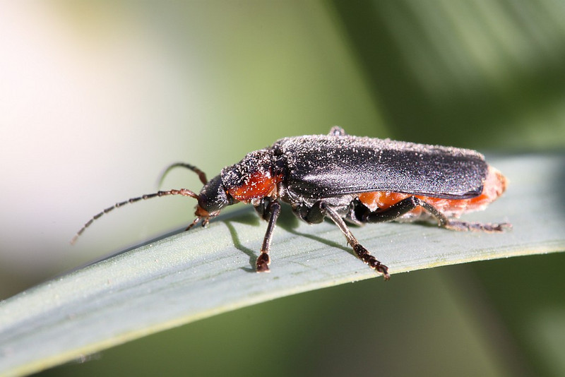 Cantharis obscura