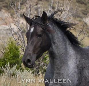 Lynn Walleen's TRNP wild horses