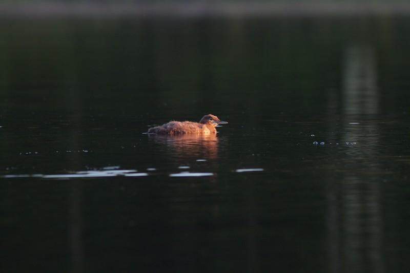 Common Loon Savanna Portage S.P. Aitkin Co MN IMG_0062613.jpg