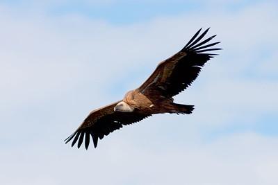 Gamar – Vultures