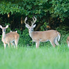 A whitetail buck with velvet antlers standing at the edge of meadow with doe and fawns