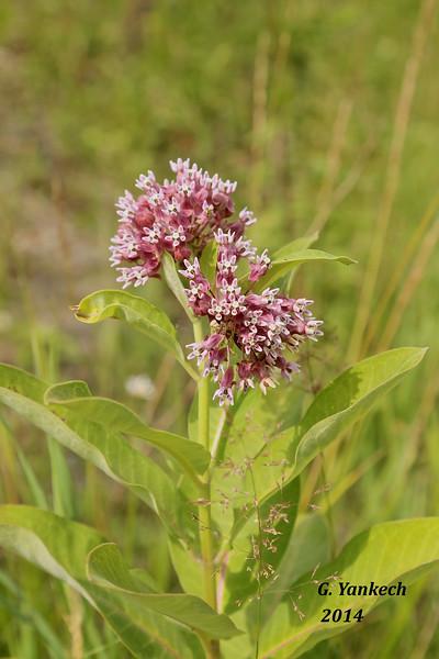 Asclepiadaceae (Milkweed) Family