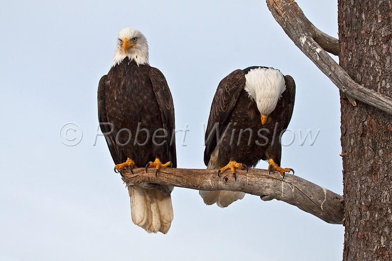 Two Bald Eagles, Haliaeetus leucocephalus, Kenai Peninsula, Alaska