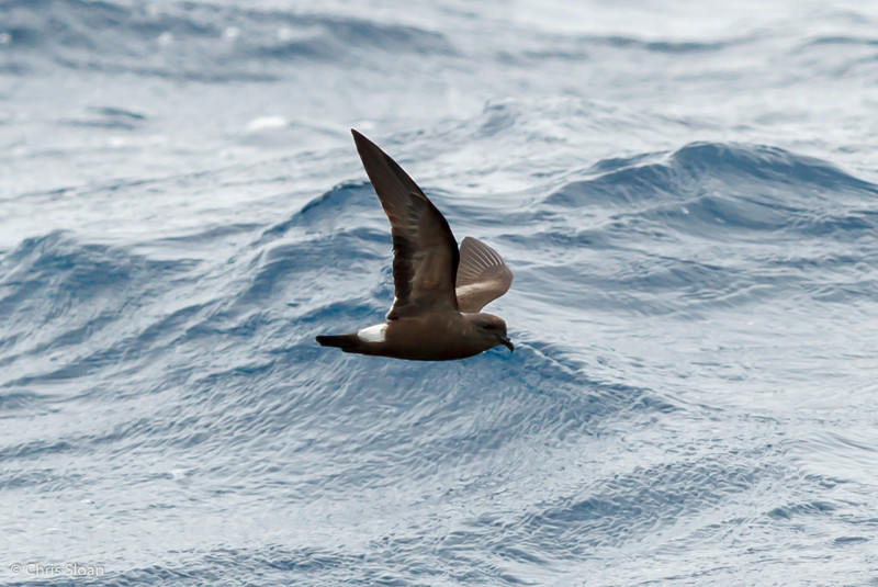 Band-rumped Storm-Petrel at Gulf Stream off Hatteras, NC (08-09-2014) 033-41.jpg