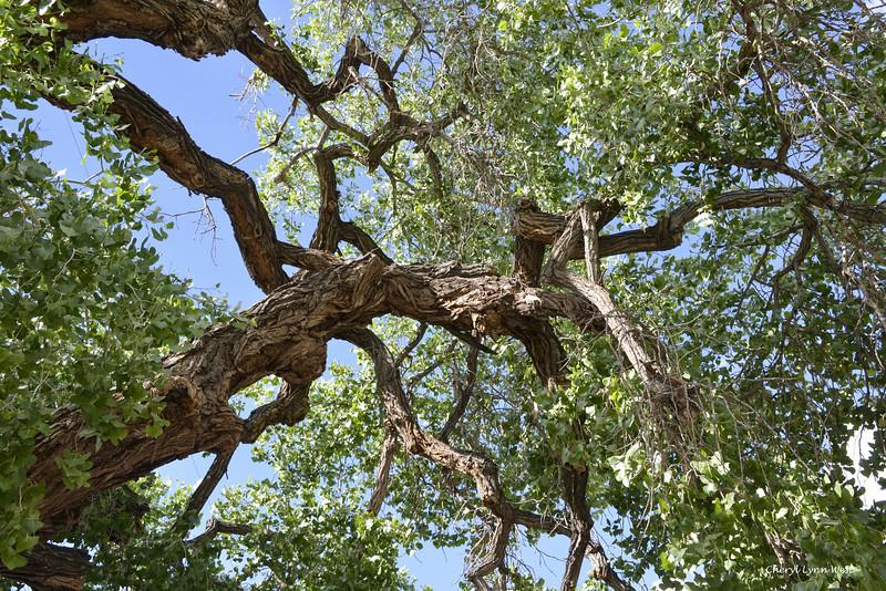 Cerrillos, New Mexico - Cottonwood tree