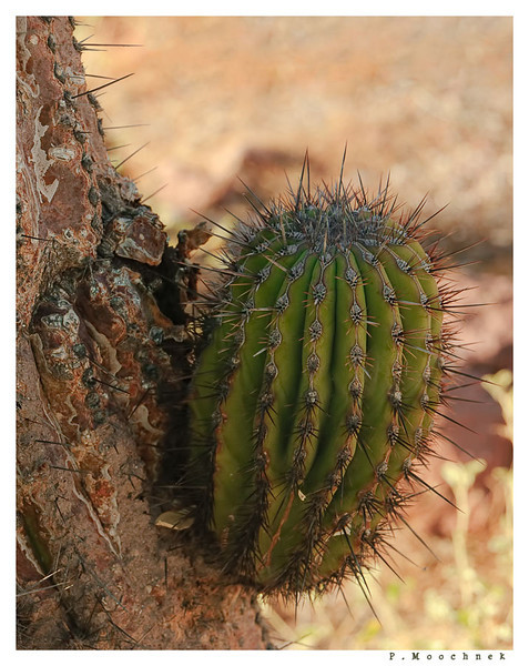 cactusbud1.jpg