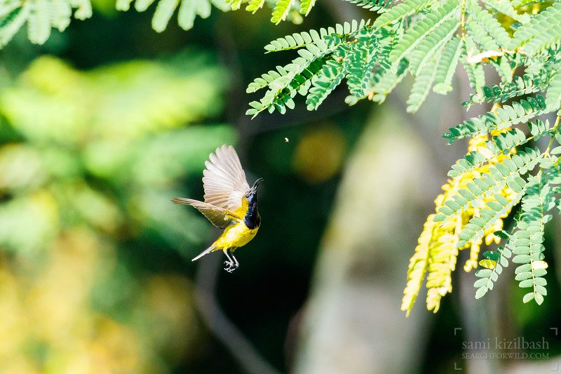 Olive-backed Sunbird 3.jpg