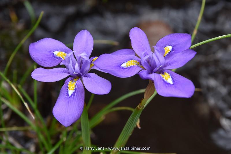Moraea alpina