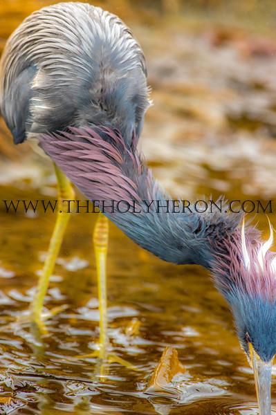 HOLY HERON