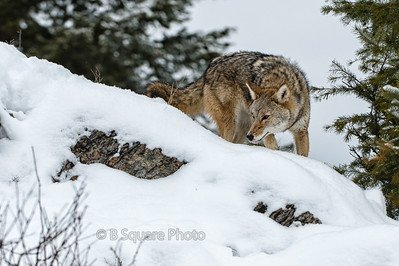 Coyote Photography