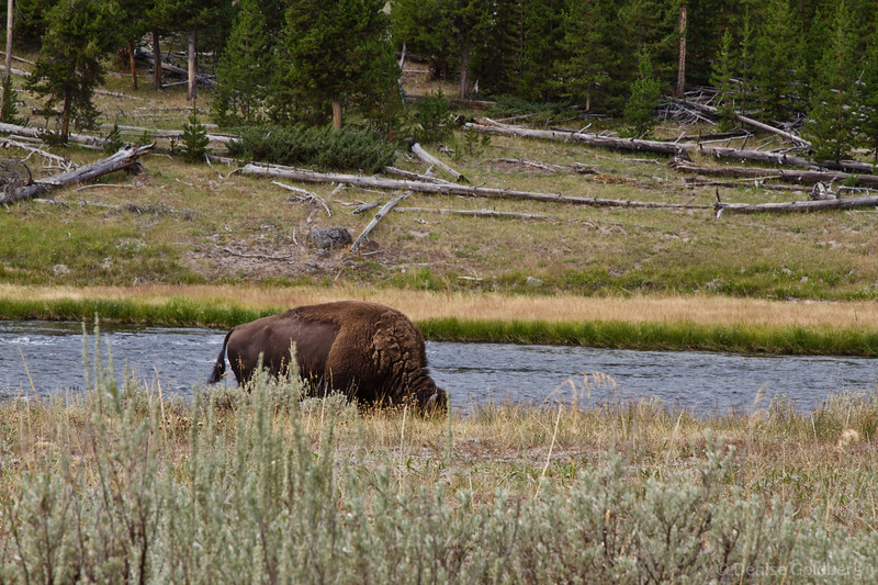 bison (hiding in plain sight)