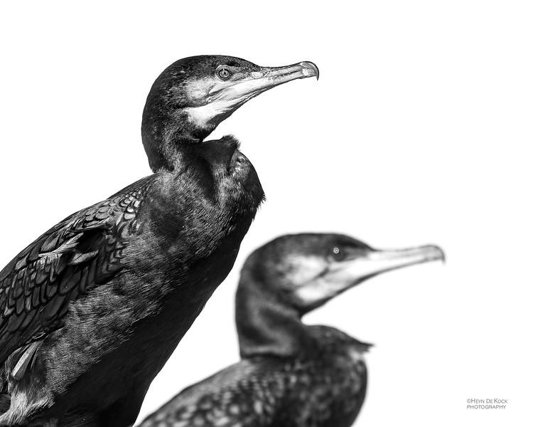 Great Cormorant, b&w, Anglesea, VIC, Oct 2018.jpg