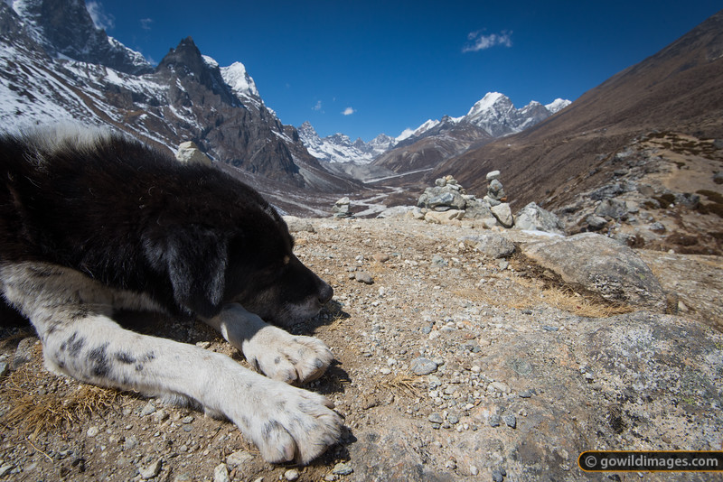 Impromptu trekking partner takes a break while I capture the panoramic views on the hill above Pheriche, on the way to Dingboche village during a rest day for acclimatisation