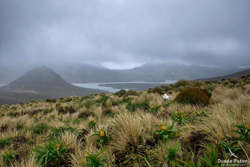 974-SouthernRoyalAlbatross-CampbellIsland,NZ-11-12-13-2.jpg