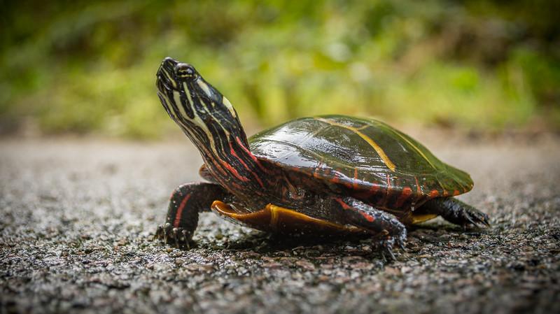 painted turtle (2 of 2).jpg