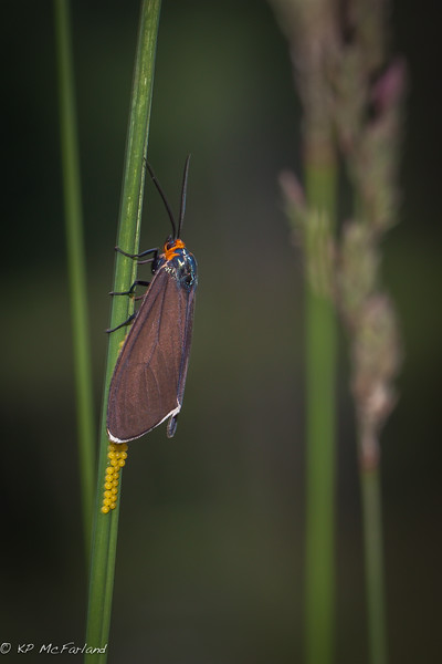 Virginia Ctenucha (Ctenucha virginica) laying eggs.
