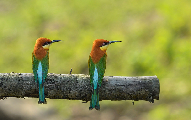 Chestnut-headed-bee-eaters-kaziranga.jpg