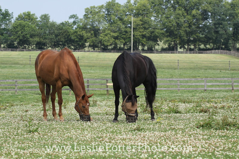 Two Horses Wearing Grazing Muzzles