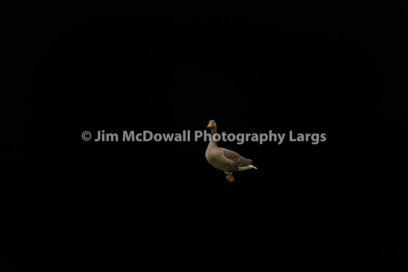 Small Mallard Duck on Isolated Background