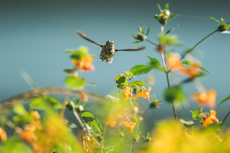 A ruby-throated hummingbird at the Celery Bog in West Lafayette, Indiana