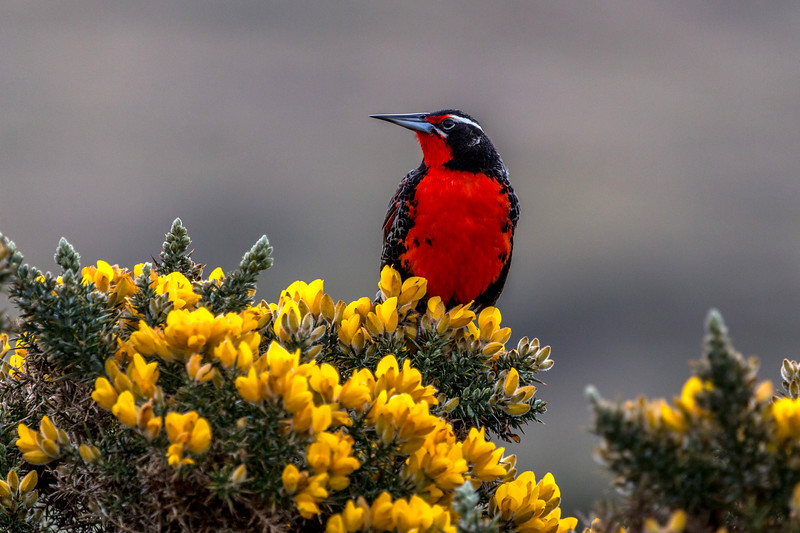Long-tailed Meadowlark, Carcass Island, Falklands