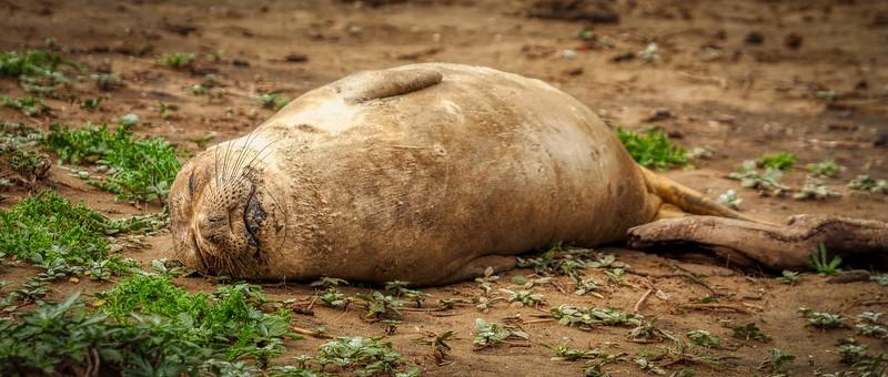 Seal 1, Año Nuevo State Park, California, 2010